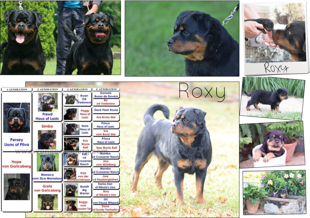 Rott Female - Roxy