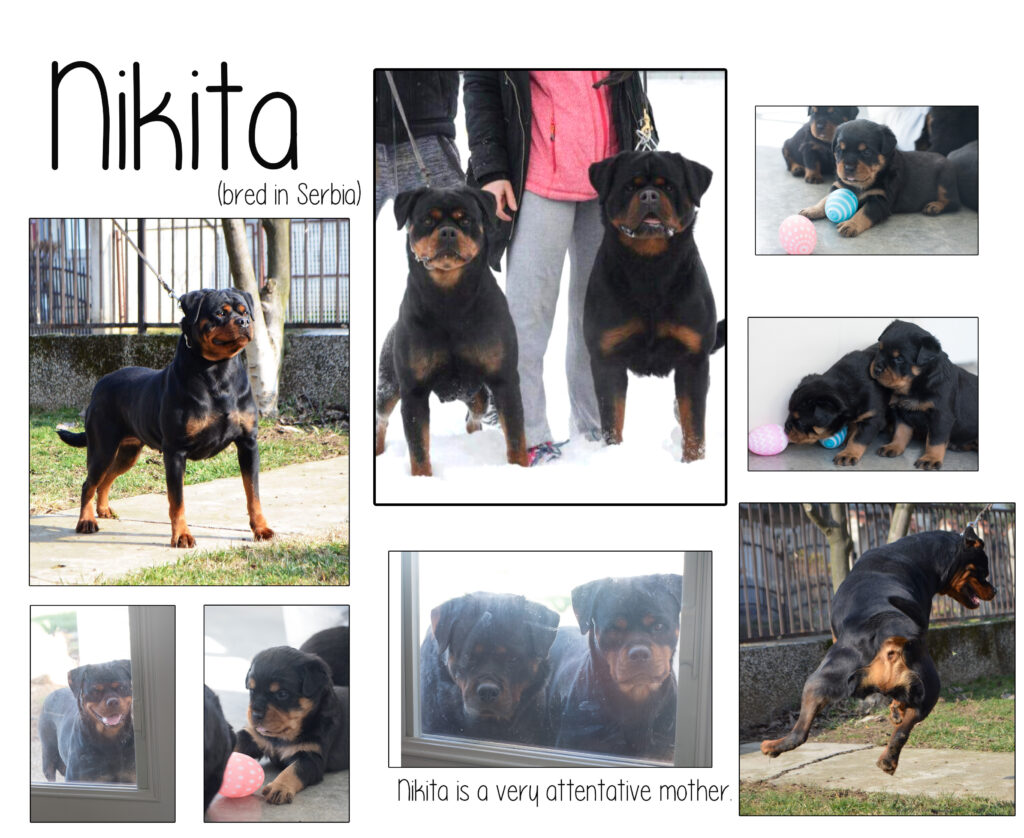 Rott Female - Nikita