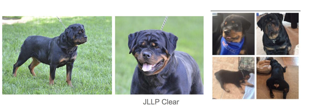 Female Rott - Poppie