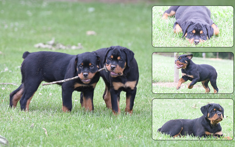 Rottweilers, Yard Chemicals & Cancer