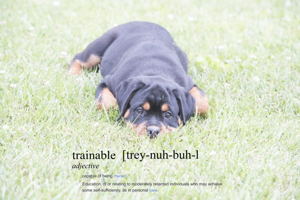 Training and Your Rottweiler Puppy