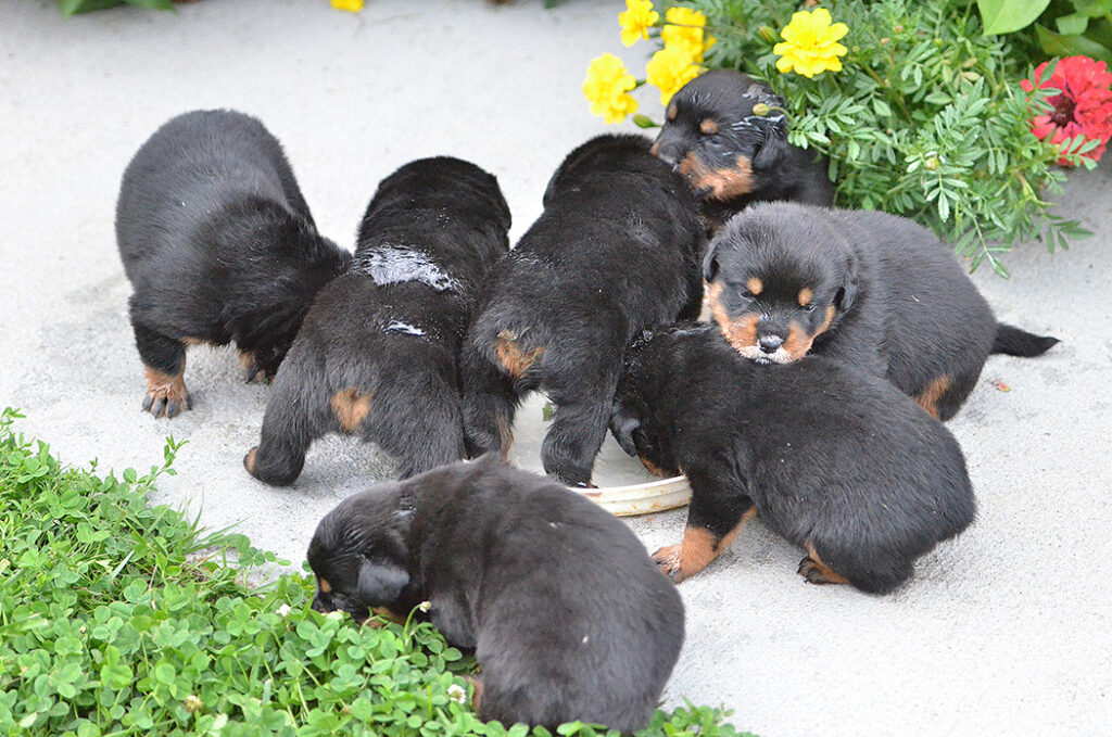 Rottweiler puppies eating