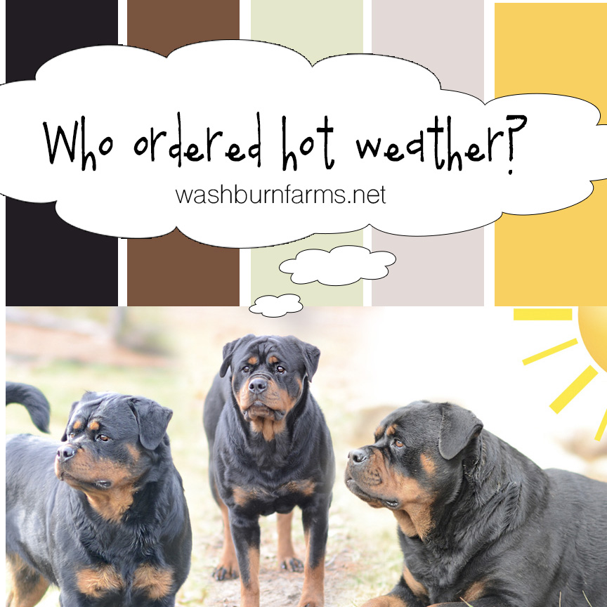 rottweilers and hot weather
